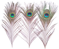 "Cut Peacock Eyes 10-12"" - per 100"